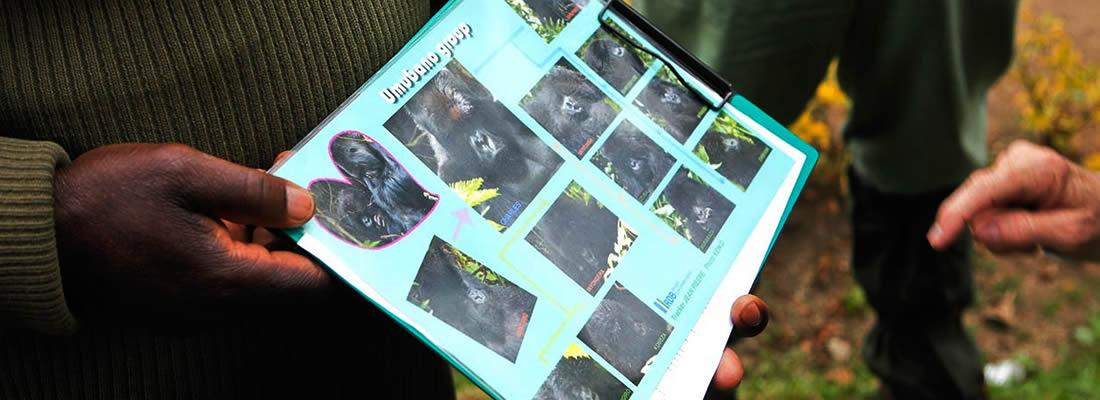 gorilla groups africa