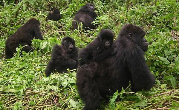 Daily lifestyle of gorillas