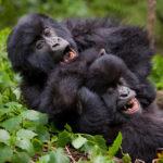 Physical Characteristics of Mountain Gorillas