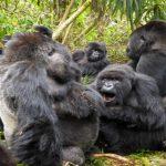 Unique facts about mountain gorilla social groups