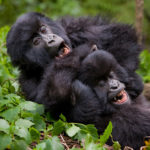 Physical Characteristics of Mountain Gorillas