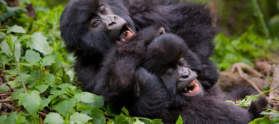 traits of mountain gorillas